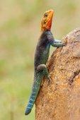 Rainbow agama — Stock Photo