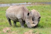 White rhinoceros feeding — Stock Photo