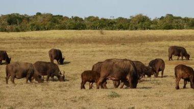 African buffalo herd — Video Stock