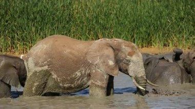 African elephant in waterhole — Stock Video