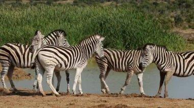 Plains Zebras at waterhole — Stock Video