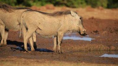 Warthog at a waterhole — Stock Video