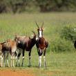 Bontebok antelopes — Stock Photo #55291797