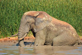 African elephant in mud — Stock Photo