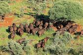 African buffalo herd — Stock Photo