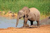 Baby elephant at waterhole — Foto Stock