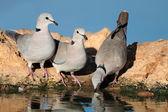 Cape kaplumbağa güvercinler — Stok fotoğraf