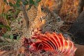 Feeding leopard — Stock Photo