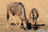 Wildebeest drinking water — ストック写真