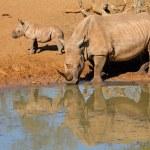 White rhinoceros and calf — Stock Photo #57058693