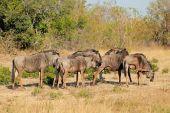 Blue wildebeest herd — Stock Photo