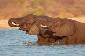Elefanter i vatten — Stockfoto