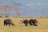 Grazing African buffaloes — Stock Photo