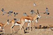 Springbok and doves — Stock Photo