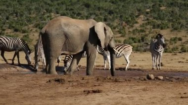 Elephant and zebras at waterhole — Stock Video