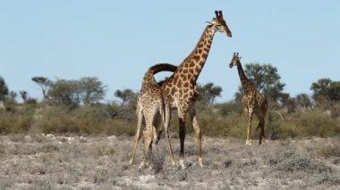 Fighting giraffes — Stock Video