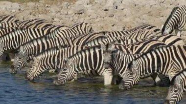 Slätterna zebror dricka — Stockvideo