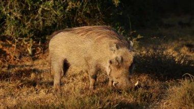 Warthog feeding — Stock Video