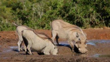 Warthogs drinking water — Stock Video