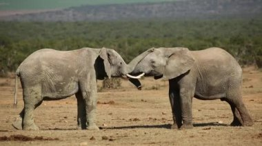African elephants fighting — Stock Video
