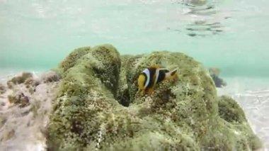 Clownfish and sea anemone — Stock Video