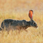 Scrub hare — Stock Photo #58173977