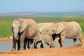 African elephants at waterhole — Stock Photo