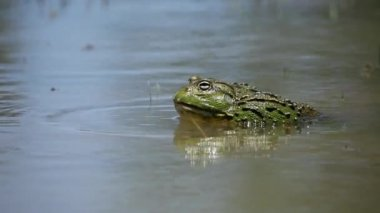 African giant bullfrog calling — Stock Video