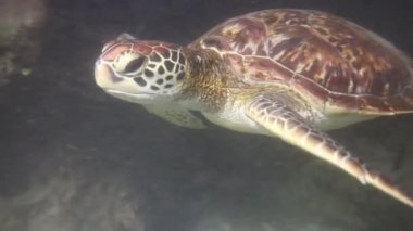 Hawksbill sea turtle — Stock Video
