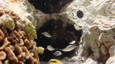 Pufferfish in rock pool — Stock Video