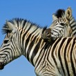 Plains Zebra portrait — Stock Photo #58690051