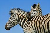 Plains Zebra portrait — Stock Photo