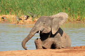Playful African elephant — Stock Photo