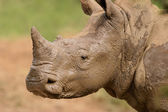 White rhinoceros portrait — Stock Photo