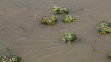 Mating African giant bullfrogs — Stock Video