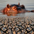 Hippopotamus and drought — Foto Stock #59210397