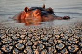 Hippopotamus and drought — Stock Photo