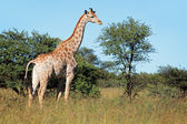 Giraffe in natural habitat — Stock Photo