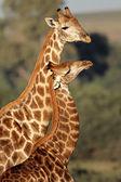 Interacción de jirafa — Foto de Stock