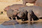 Hippo family — Stock Photo