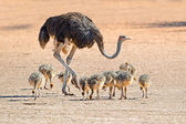 Ostrich with chicks — Stock Photo