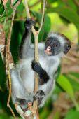 Zanzibar red colobus monkey — Stockfoto