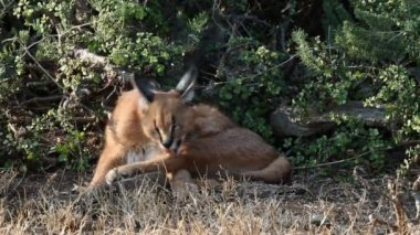 Caracal in natural habitat — Stock Video