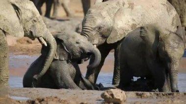 Playful African elephant calves — Stock Video