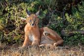 Caracal in natural habitat — Stock Photo