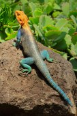 Rainbow agama — Stock Photo