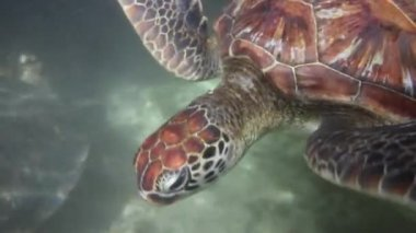 Hawksbill sea turtle — Stock Video