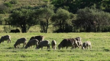 Sheep on pasture — Stock Video