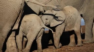 African elephant calves — Stock Video