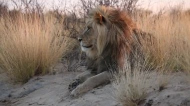 Male African lion — Stock Video